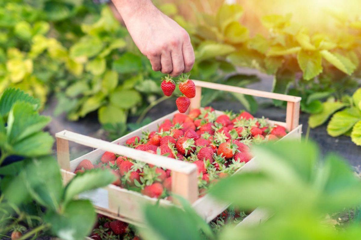 Manfaat Buah Strawberry untuk Bumil